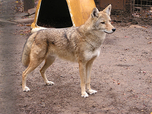 photo Coyote / <span class='cursive'>Canis latrans</span>