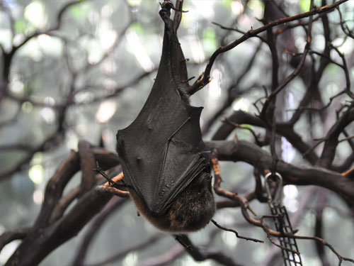 photo Rodriguez flying fox / <span class='cursive'>Pteropus rodricensis</span>