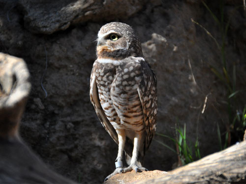 Western burrowing owl