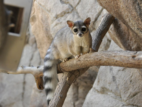 Ring-tailed cacomistle