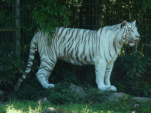 photo Bengal tiger / <span class='cursive'>Panthera tigris tigris</span>