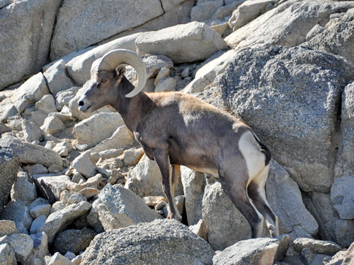 photo Ovis canadensis mexicana / Mexican bighorn sheep