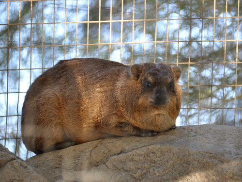 photo Rock hyrax / <span class='cursive'>Procavia capensis capensis</span>