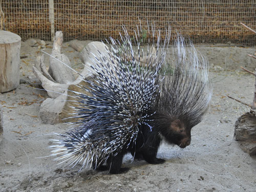 photo Cape porcupine / <span class='cursive'>Hystrix africaeaustralis</span>