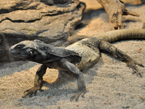 photo Sauromalus ater / Chuckwalla