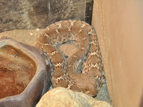 photo Red diamond rattlesnake / <span class='cursive'>Crotalus ruber</span>