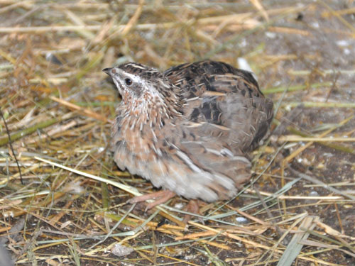 photo European quail / <span class='cursive'>Coturnix coturnix</span>