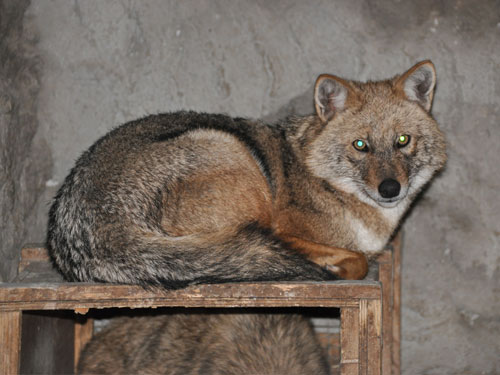 photo Golden jackal / <span class='cursive'>Canis aureus</span>