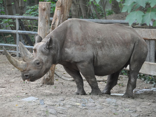 Eastern black rhinoceros