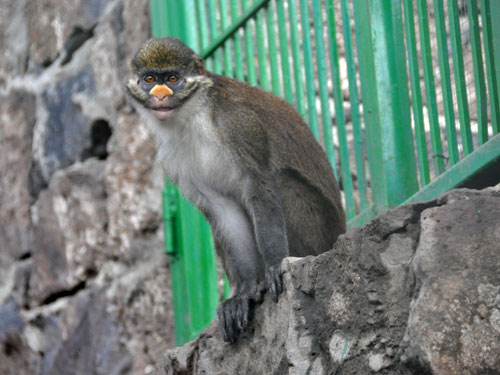 photo Cercopithecus ascanius whitesidei / Whiteside's guenon