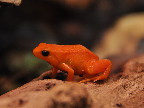photo Golden mantella / <span class='cursive'>Mantella aurantiaca</span>