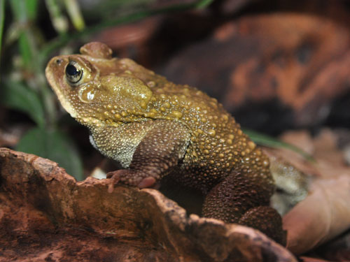 Asiatic black-spined toad