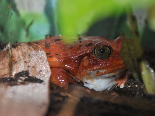 photo Madagascar tomato frog / <span class='cursive'>Dyscophus antongilii</span>