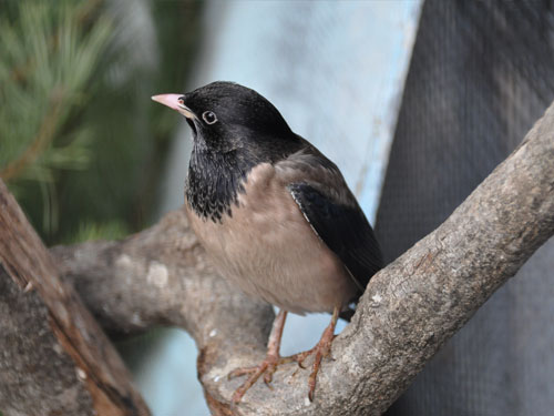 Rose-colored starling