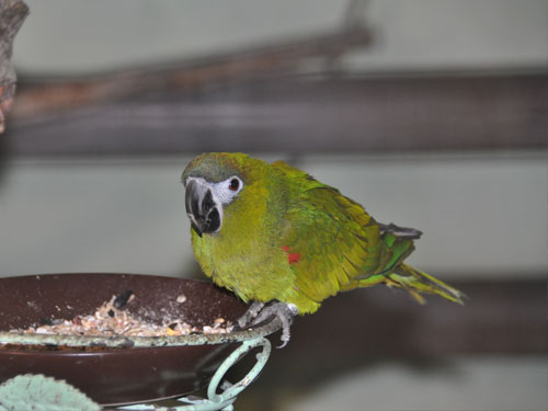 photo Red-shouldered macaw / <span class='cursive'>Diopsittaca nobilis nobilis</span>