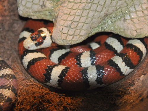 photo Pueblan milksnake / <span class='cursive'>Lampropeltis triangulum campbelli</span>