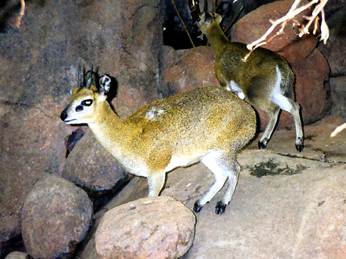 photo Klipspringer / <span class='cursive'>Oreotragus oreotragus</span>