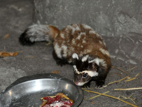 photo Vormela peregusna / Marbled polecat