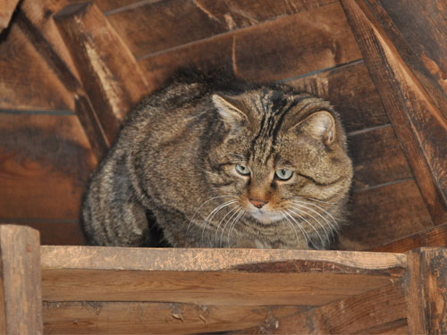 photo European wild cat / <span class='cursive'>Felis silvestris silvestris</span>