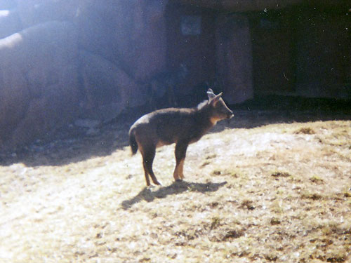 Chinese goral