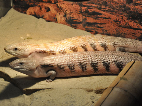 photo <span class='cursive'>Tiliqua scincoides</span> / Blue-tonqued skink