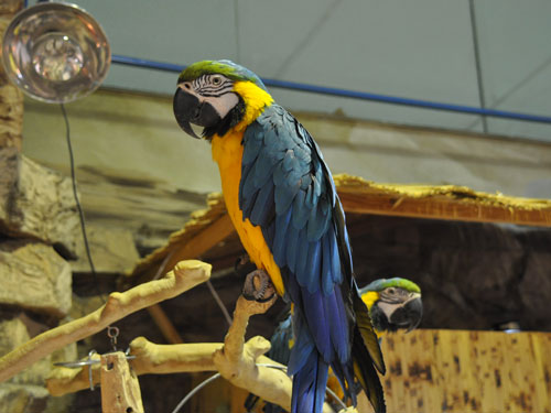 photo Blue-and-yellow macaw / <span class='cursive'>Ara ararauna</span>