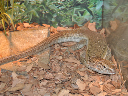 Southeastern girdled lizard