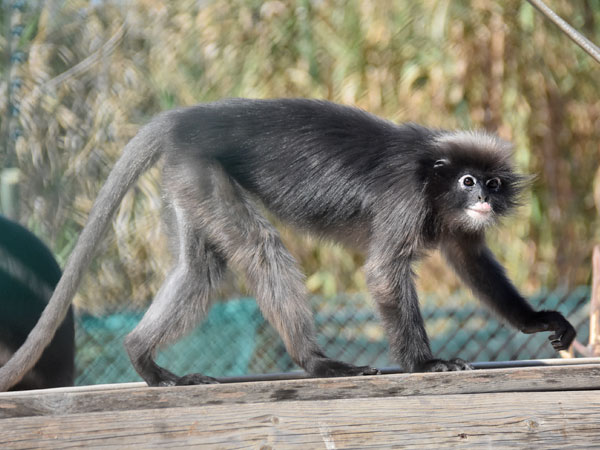 photo Dusky leaf monkey / <span class='cursive'>Trachypithecus obscurus</span>