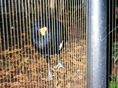 photo Wattled curassow / <span class='cursive'>Crax globulosa</span>