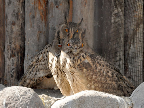 photo Eurasian eagle owl / <span class='cursive'>Bubo bubo</span>