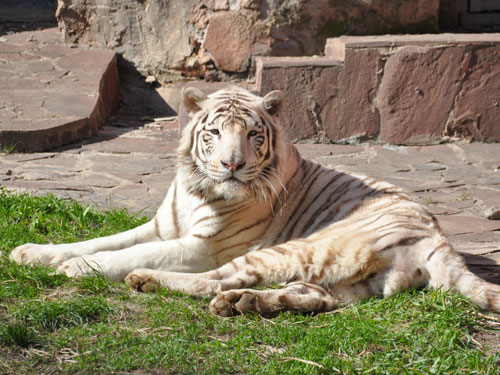 photo Tiger / <span class='cursive'>Panthera tigris</span>