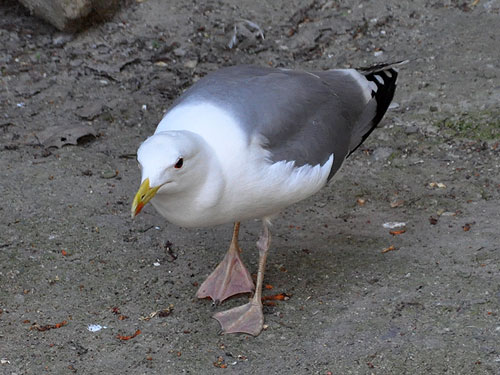 photo Mongolian gull / <span class='cursive'>Larus mongolicus</span>