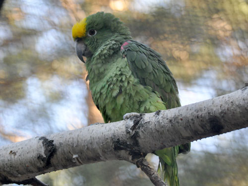 photo Amazona ochrocephala ochrocephala / Yellow-crowned amazon