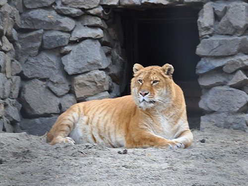 photo Liger / <span class='cursive'>Panthera tigris X Panthera leo</span>