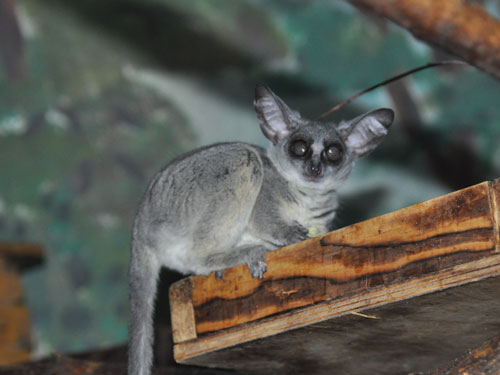 photo Northern lesser bushbaby / <span class='cursive'>Galago senegalensis</span>