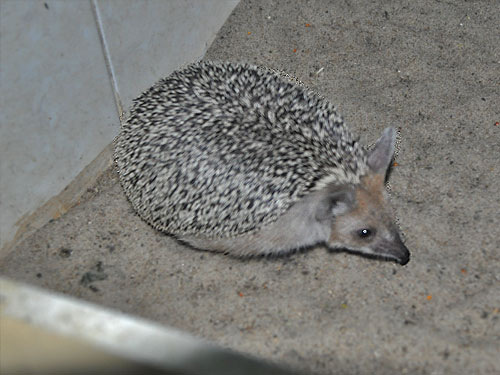 Long-eared hedgehog