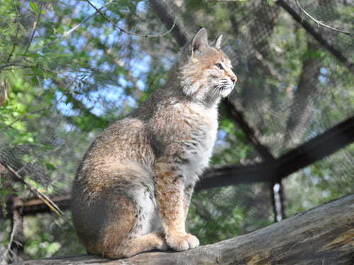 photo Bobcat / <span class='cursive'>Lynx rufus</span>