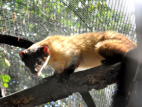 photo Martes flavigula aterrima / Yellow-throated marten