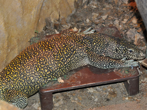 Blue-tailed monitor