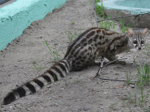 photo Small-spotted genet / <span class='cursive'>Genetta felina</span>