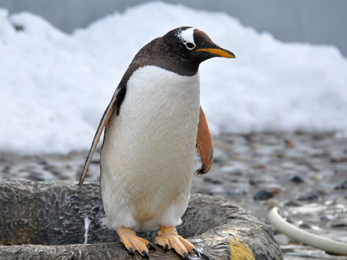photo Gentoo penguin / <span class='cursive'>Pygoscelis papua papua</span>