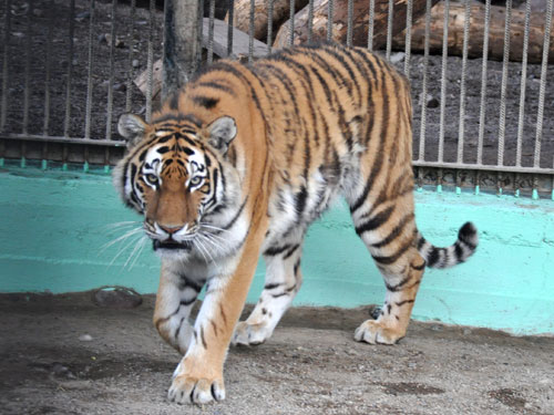 photo Amur tiger / <span class='cursive'>Panthera tigris altaica</span>