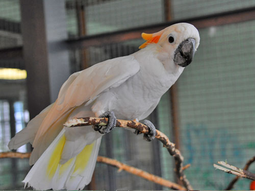 Cockatoo Hybrid