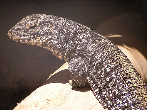 Black and white tegu lizard