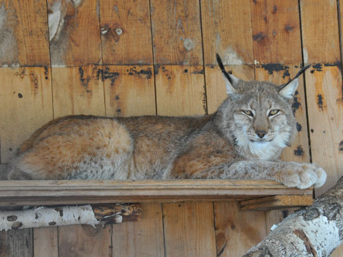 photo Eurasian lynx / <span class='cursive'>Lynx lynx wardi</span>