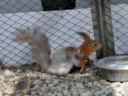 Siberian red squirrel