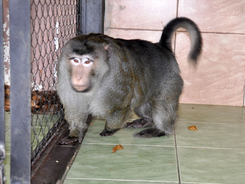 photo Pig-tailed macaque / <span class='cursive'>Macaca nemestrina</span>