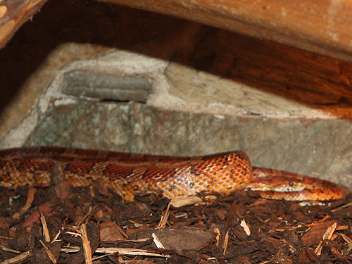 photo Cornsnake/red ratsnake / <span class='cursive'>Pantherophis guttatus</span>