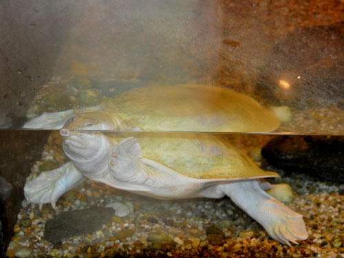 Chinese softshelled turtle