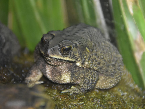 photo Asiatic black-spined toad / <span class='cursive'>Bufo melanostictus</span>